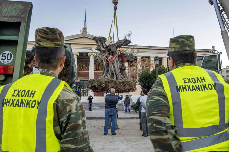 Εργάτες του Δήμου Αθηναίων μεταφυτεύουν υπεραιωνόβιες ελιές, 800 ετών, στα Προπύλαια του Πανεπιστημίου Αθηνών, Κυριακή 11 Δεκεμβρίου 2015. Τα δένδρα μεταφέρθηκαν με τη συνδρομή του Μηχανικού του Ελληνικού Στρατού από την περιοχή της Ακράτας. ΑΠΕ-ΜΠΕ/ΑΠΕ-ΜΠΕ/ΑΡΤΕΜΗΣ ΣΚΟΥΛΙΚΑ